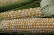 Corns Photos - Iowa Sweet Corn by Yumi Johnson