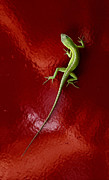 Iphone Case Photo Framed Prints - IPhone Lizard On Red Framed Print by Robert Frederick