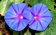 Sweetest Day Photos - Ipomoea Purple Flowers by Tracey Harrington-Simpson
