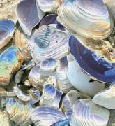 Christiane Schulze Digital Art Posters - Iridescent Shells II Poster by Christiane Schulze