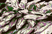 Shinning Framed Prints - Iridescent Varigated Leave with Purple and Green Framed Print by Linda Phelps