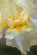 Yellow Bearded Iris Photos - Iris Abstract by Annette Weiner