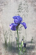 Bearded Iris Posters - Iris Among the Grasses Poster by Angie Vogel