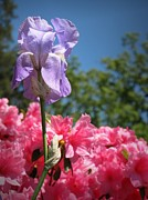 Iris And Azaleas Print by Matt Taylor