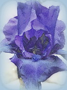 Beautiful Purples Prints - Iris Beauty Print by Kay Novy