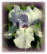 Rosanne Jordan - Iris Dream with Border