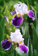 Rosanne Jordan - Iris Duet of Beauty