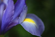 Shelley Myke Prints - Iris Frozen in Time Print by Inspired Nature Photography By Shelley Myke