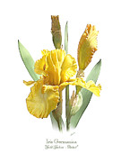Loop De Loop Posters - Iris Germanica Gold Galore Poster by Artellus Artworks