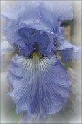 Meanings Digital Art Posters - Iris Heart Poster by Kay Novy