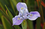 Kate Brown Metal Prints - Iris Metal Print by Kate Brown