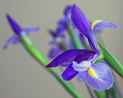 Spring Time Prints - Iris Print by Lisa  Phillips