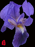 Guojun Pan Metal Prints - Iris photo Metal Print by GuoJun Pan