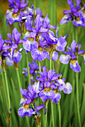 Violet Photo Metal Prints - Irises Metal Print by Elena Elisseeva