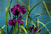 Penny Lisowski - Irises on the Water