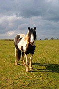 Stallion Photo Originals - Irish horse by Frances Hodgkins