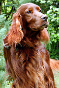 Pet Dog Pyrography Framed Prints - Irish Setter Framed Print by Anna Kennedy