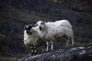 County Kerry Framed Prints - Irish Sheep Couple Framed Print by Ruben Vicente