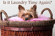 Yorkshire Terrier Digital Art - Is it laundry time again? by Mary Jane Cannon