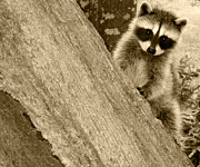 Raccoon Art - Is This My Good Side by Kym Backland