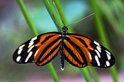 Ismenius Tiger Butterfly Print by Cheryl Cencich