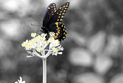 Isolated Swallowtail Butterfly Print by Lorri Crossno