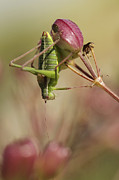 Cricket Framed Prints - Isophya Savignyi - Bush Cricket Framed Print by Alon Meir