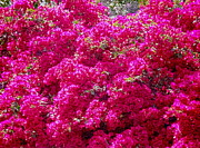 Puerto Rico Photo Originals - Israels Pink Bouganvillae glabra by Sandra Pena de Ortiz