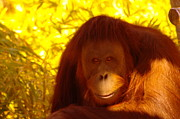 Orangutans Framed Prints - It Is Hard Being A Primate  Framed Print by Jeff  Swan