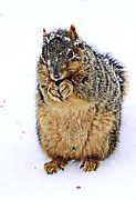 Fox Squirrel Art - It Is Really Cold by Marcia Colelli