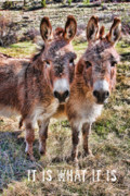 Donkeys Framed Prints - It IS What It IS Framed Print by James Bo Insogna