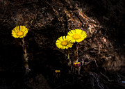 Wildflower Photos - It only takes a little bit of light by Bob Orsillo