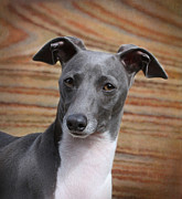 Greyhound Photo Posters - Italian Greyhound Poster by Angie Vogel
