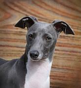 Italian Greyhound Print by Angie Vogel