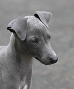 Greyhound Prints - Italian Greyhound Puppy Print by Angie Vogel