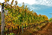Vineyard Art Originals - Italian Vineyard by Mark Prescott Crannell