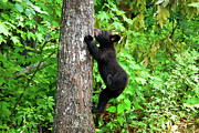 Black Bear Climbing Tree Posters - Itchy Baby Poster by Christi Kraft
