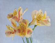 Alstroemeria Posters - Its A Beautiful Day Poster by Kim Hojnacki