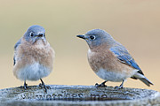 Birdbath Posters - Its a Bluebird Morning Poster by Bonnie Barry