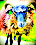 Life Before Now Framed Prints - Its a sheep life Framed Print by Hilde Widerberg