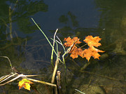 Autumn Leaf On Water Prints - Its over - Leafs on Pond Print by Brenda Brown