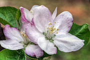 Crab Apple Tree Blossoms Prints - Its That Time Print by JC Findley