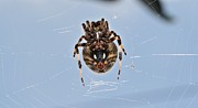 Spider Species Framed Prints - Itsy Bitsy Framed Print by Dan Sproul