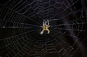Nursery Rhyme Photo Prints - Itsy Bitsy Spider My Ass 2 Print by Steve Harrington