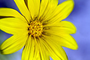 Bryan Freeman Metal Prints - Itsy Bitsy Yellow Desert Flower Metal Print by Bryan Freeman