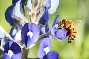 Lorri Crossno Metal Prints - Ive Got A Bee In My Bluebonnet Metal Print by Lorri Crossno