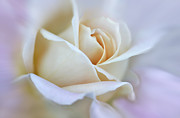 Ivory Rose Prints - Ivory and Pink Abstract Rose Flower Print by Jennie Marie Schell
