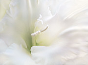 Gladiola Prints - Ivory Gladiola Flower Print by Jennie Marie Schell