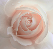 Raindrops Prints - Ivory Peach Pastel Rose Flower Print by Jennie Marie Schell