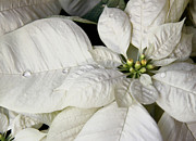 Ivory Poinsettia Christmas Flower Print by Jennie Marie Schell